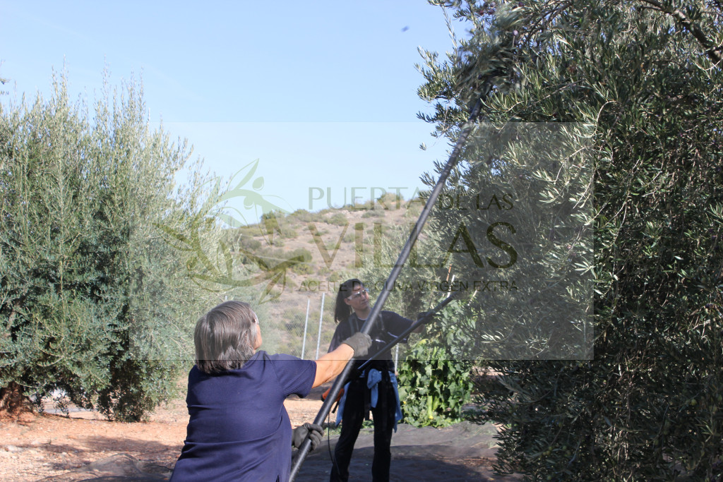 olivareras