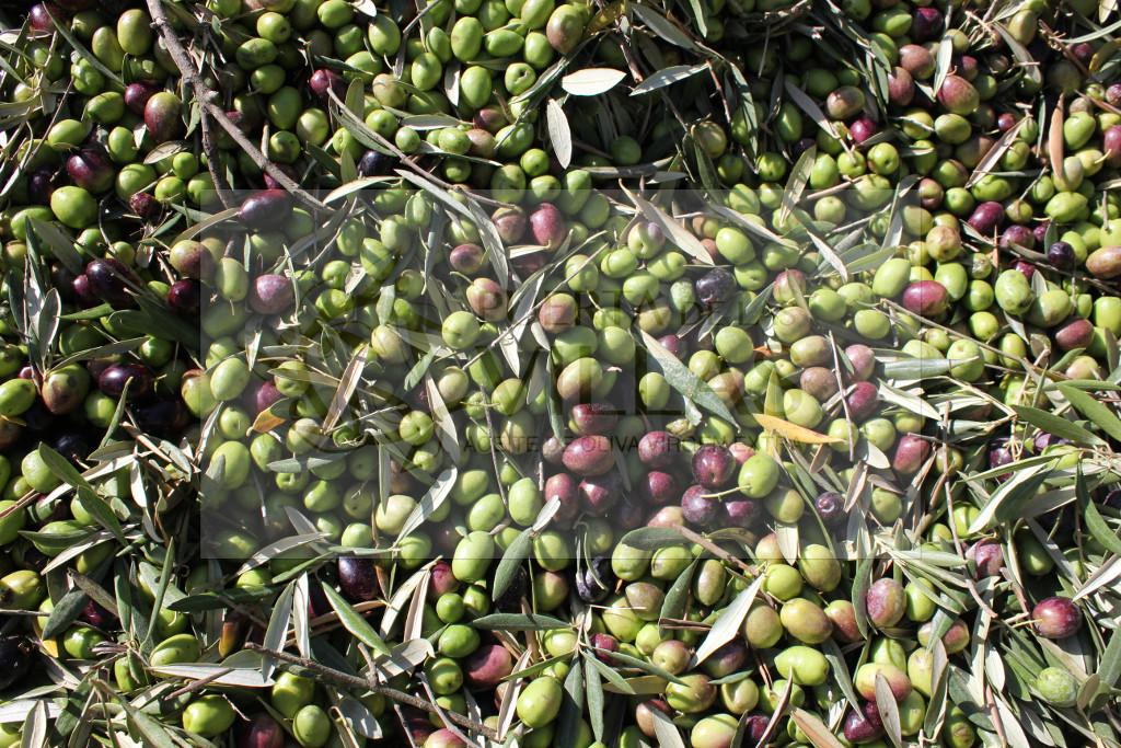 aceituna frutado maduro