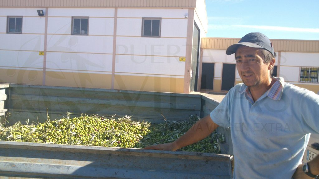 agricultor con remolque aceituna